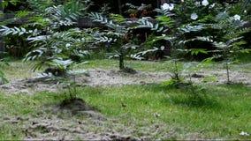 Plantas de Staghorn Sumac vídeos de arquivo