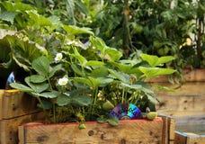 Plantas de Strawbery na cama levantada Fotografia de Stock Royalty Free