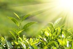 Plantas de té en rayos de sol Fotografía de archivo
