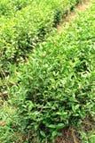 Plantas de té en fila Fotografía de archivo libre de regalías