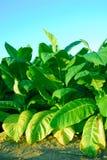 Plantas de tabaco Fotos de archivo libres de regalías