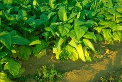 Plantas de tabaco Imagenes de archivo