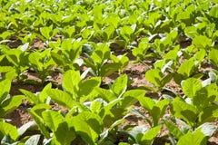 Plantas de tabaco Foto de archivo libre de regalías