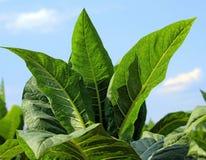 Plantas de tabaco Imágenes de archivo libres de regalías