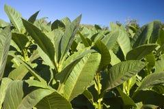 Plantas de tabaco fotografia de stock royalty free