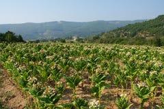 Plantas de tabaco florecientes en campo imagen de archivo