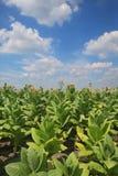 Plantas de tabaco no campo foto de stock royalty free