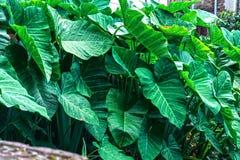 Plantas de taro bonitas com folhas do taro fotos de stock
