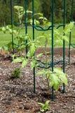 Plantas de tomate Fotos de Stock Royalty Free