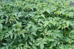 Plantas de tomate imagen de archivo libre de regalías