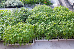 Plantas de tomate Fotografía de archivo