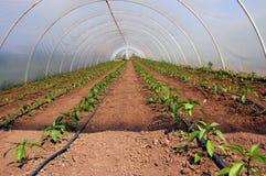Plantas de tomate Foto de Stock Royalty Free