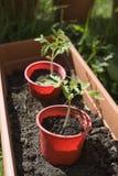 Plantas de tomate Fotografia de Stock