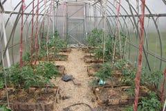 Plantas de tomate con las frutas en el invernadero Fotos de archivo libres de regalías