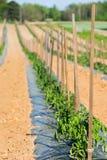 Plantas de tomate em uma fileira longa fotografia de stock royalty free
