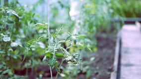 Plantas de tomate en curso de crecimiento en el invernadero metrajes