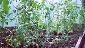 Plantas de tomate en curso de crecimiento en el invernadero almacen de metraje de vídeo