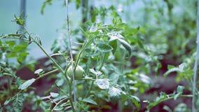 Plantas de tomate en curso de crecimiento en el invernadero almacen de video