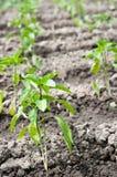 Plantas de tomate en filas Foto de archivo