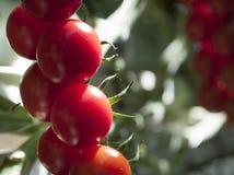 Plantas de tomate en invernadero Imagen de archivo