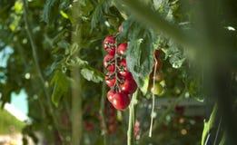 Plantas de tomate en invernadero Fotos de archivo