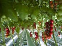 Plantas de tomate en invernadero Imagenes de archivo