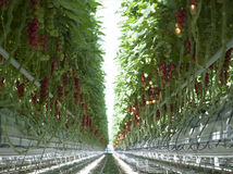 Plantas de tomate en invernadero Fotografía de archivo libre de regalías