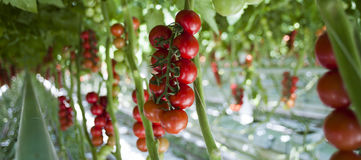 Plantas de tomate en invernadero Fotografía de archivo