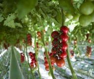 Plantas de tomate en invernadero Foto de archivo libre de regalías