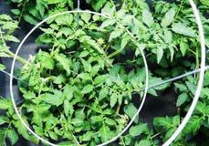 Plantas de tomate en jaula fotografía de archivo