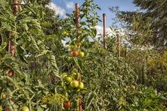Plantas de tomate en un jardín natural foto de archivo libre de regalías