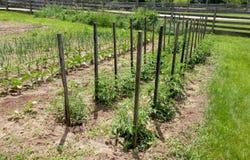 Plantas de tomate estacadas - huerto fotos de archivo libres de regalías