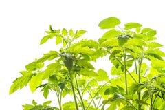 Plantas de tomate jovenes Foto de archivo