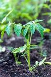 Plantas de tomate jovenes en jardín Imagen de archivo