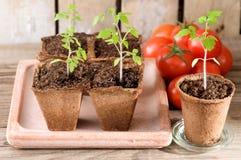 Plantas de tomate jovenes y tomates maduros Foto de archivo libre de regalías