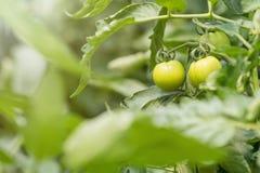 Plantas de tomate na estufa Cultivo orgânico dos tomates verdes imagem de stock