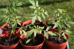 Plantas de tomate novas em uns potenciômetros. Fotos de Stock