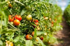 Plantas de tomate que crecen dentro de un invernadero Fotos de archivo libres de regalías