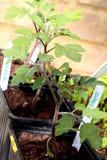 Plantas de tomate que crecen en un invernadero fotos de archivo libres de regalías