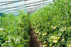 Plantas de tomate que crescem dentro de uma estufa Fotos de Stock Royalty Free