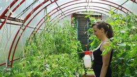Plantas de tomate de rociadura de la mujer con una botella del espray almacen de video