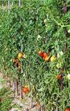 Plantas de tomates Imagens de Stock Royalty Free