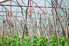 Plantas de tomates con los polos foto de archivo libre de regalías