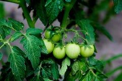 Plantas de tomates crecientes verdes Fotografía de archivo libre de regalías