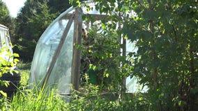 Plantas de tomates do cuidado da mulher do jardineiro com a lata molhando na estufa 4K vídeos de arquivo