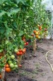 Plantas de tomates na estufa Fotografia de Stock Royalty Free