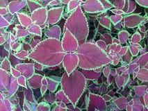 Plantas de un coler del heab Imágenes de archivo libres de regalías