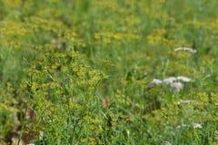 Plantas de un hinojo en campo Fotografía de archivo