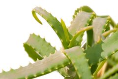 Plantas de Vera del áloe Fotos de archivo