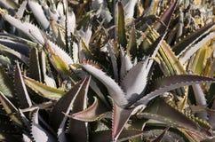 Plantas de Vera del áloe Fotografía de archivo libre de regalías